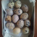 先生から頂いたウズラの卵